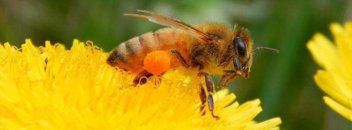 Qu'est ce que le pollen ?