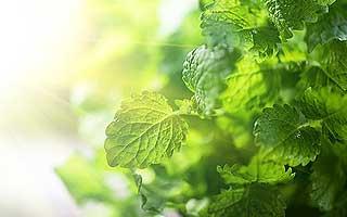 aromate menthe