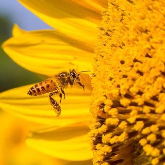 Consommer du pollen cru