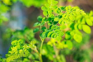 Comment faire pousser les graines de Moringa ?